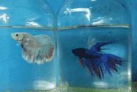 Makanan-Ikan-Cupang